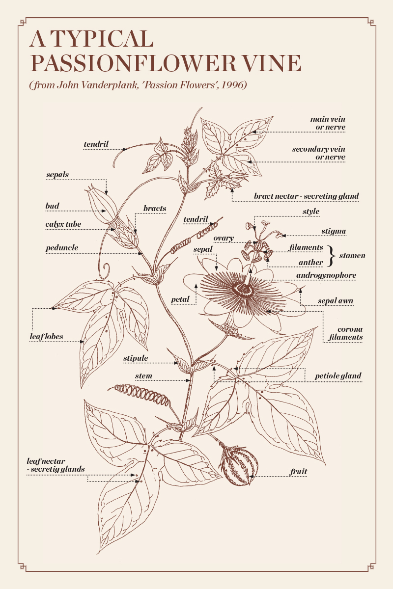 The genus Passiflora, discovery of Passiflora, useful information